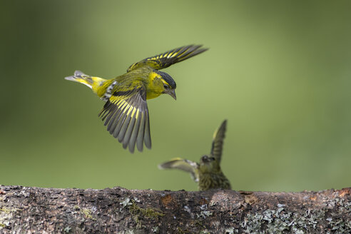 Flying Eurasian Siskin - MJOF01532