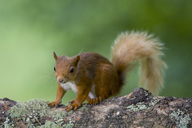 Portrait of Eurasian red squirrel  on tree trunk - MJOF01535