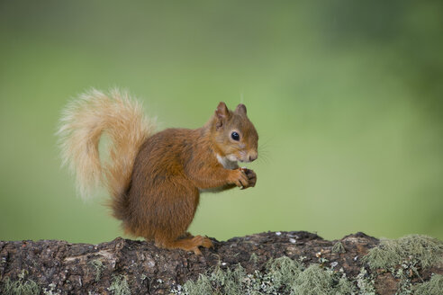 Portrait of eating Eurasian red squirrel  on tree trunk - MJOF01538