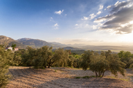 Spain, Andalucia, Olive trees on hillside at sunset - SMAF01061