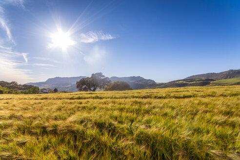 Spain, Andalucia, Barley - SMAF01064