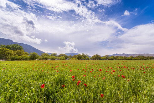 Spain, Andalucia, Zaffaraya valley, field of Wheat - SMAF01094