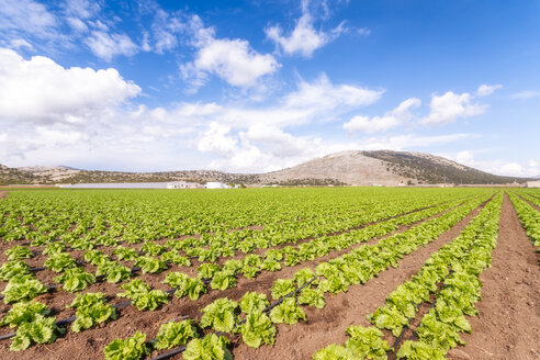 Spain, Andalucia, Zaffaraya valley, field of Lettuce - SMAF01100