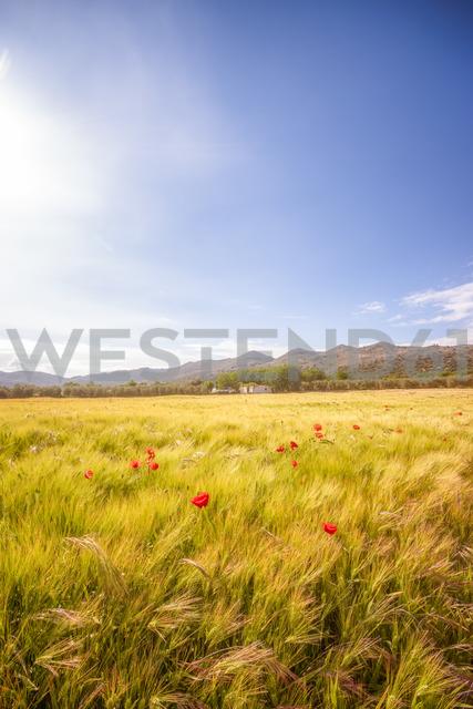 Spain, Andalucia, Zaffaraya valley, field of Barley and Poppy - SMAF01103