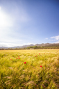 Spain, Andalucia, Zaffaraya valley, field of Barley and Poppy - SMAF01103