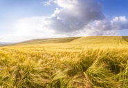 Spain, Andalucia, fields of barley near to Alhama de Granada - SMAF01109