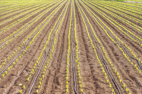 Spain, Andalucia, Zaffaraya valley, field of young Lettuce - SMAF01118