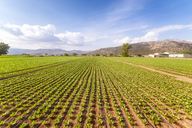 Spain, Andalucia, Zaffaraya valley, field of Lettuce - SMAF01121