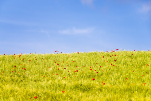Spain, Andalucia, field of Barley and Poppy near to Alhama de Granada - SMAF01130
