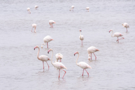Spain, Andalucia, Fuente de Piedra, Flamingos in water - SMAF01133