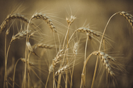 Close-up of wheat growing on field during sunset - ACPF00148