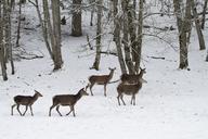 Germany, Barvaria, Berchtesgaden, hinds in winter - ZCF00640