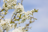 Cherry blossoms, Cerasus, close-up - MABF00483