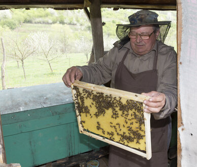 Rumania, Ciresoaia, Beekeeper checking frame with honeybees - MABF00490