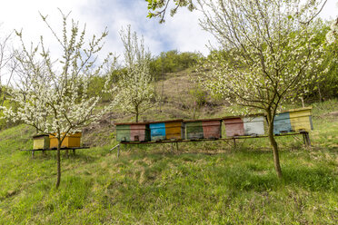 Rumania, Ciresoaia, beehives at flowering cherry trees - MABF00493