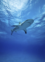 Reef sharks swimming underwater - ISF18818