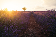 France, Alpes-de-Haute-Provence, Valensole, lavender field at sunset - GEMF02215