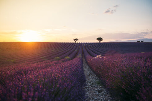 France, Alpes-de-Haute-Provence, Valensole, lavender field at sunset - GEMF02236