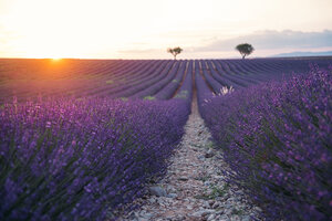 France, Alpes-de-Haute-Provence, Valensole, lavender field at sunset - GEMF02239