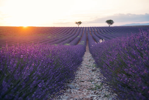 France, Alpes-de-Haute-Provence, Valensole, lavender field at sunset - GEMF02239