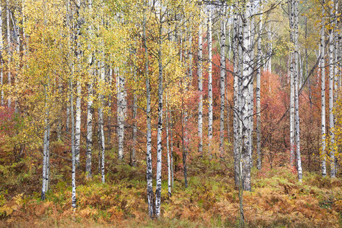 Fall colours in the Wasatch Mountains. Forests of aspen and maple. - MINF03032