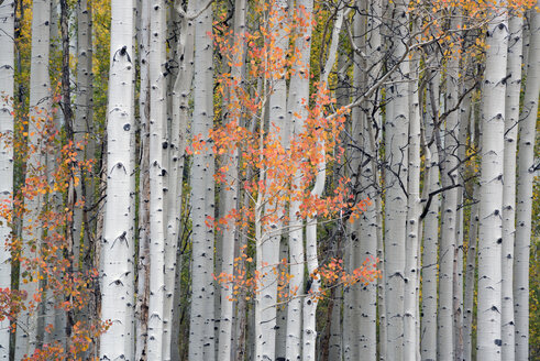 A trail through the woods. Vivid autumn foliage colour on maple and aspen tree leaves. - MINF03035