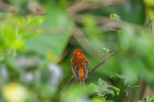 Mauritius, red fody, Foudia madagascariensis, perching on twig - MMAF00476
