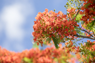 Mauritius, flame tree, Delonix regia - MMAF00479