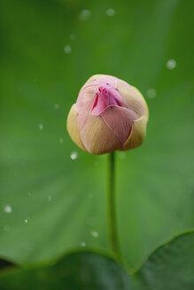 Amazonas Giant Water Lily, Victoria amazonica - MMAF00482