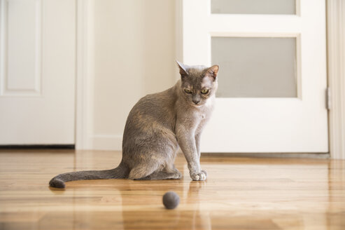 Tonkinese cat playing with felt ball - MFRF01162
