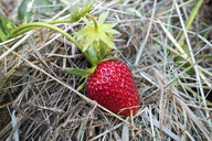 Germany, ripe red strawberry, mulched - NDF00768