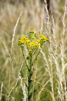 Ragwort, Senecio jacobaea, toxic plant - NDF00771