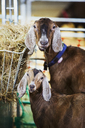 Two goats in a stable, looking at the camera. - MINF03897