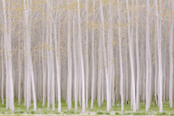 Rows of commercially grown poplar trees. - MINF04014