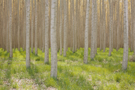 Rows of commercially grown poplar trees. - MINF04380
