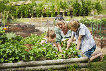 Woman, boy and girl kneeling by a vegetable bed in a garden. - MINF04413