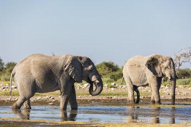 Namibia, Etosha National Park, two  African Elephants drinking at waterhole - FOF09976