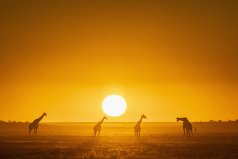 Africa, Namibia, Etosha National Park, Giraffes at sunset, Giraffa camelopardalis - FOF09981