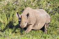 Namibia, Etosha National Park, African black rhino - FOF09992