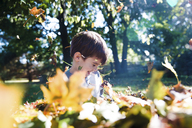 A child, boy playing with fallen autumn leaves. - MINF05060