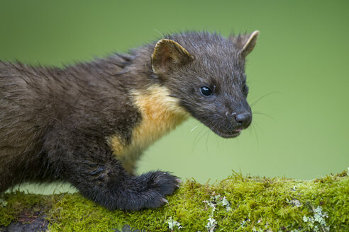 Portrait of pine marten - MJOF01547