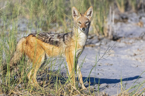 Namibia, Etosha National Park, Black-backed Jackal - FOF09994