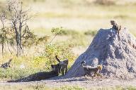 Namibia, Etosha National Park, cheetah with playing cubs - FOF09997