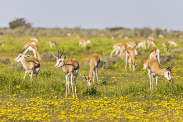 Africa, Namibia, Etosha National Park, Springboks, Antidorcas marsupialis - FOF10000