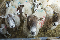 High angle view of a flock of sheep in a stable, looking at camera. - MINF05536