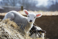 Newborn lamb peeking out from behind a bale of straw. - MINF05542