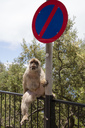 Gibraltar, Barbary macaque sitting beside traffic sign - WIF03554