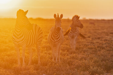 Africa, Namibia, Etosha National Park, burchell's zebras, Equus quagga burchelli, at sunset - FOF10015
