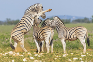 Africa, Namibia, Etosha National Park, burchell's zebras, Equus quagga burchelli, fighting - FOF10021