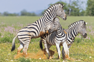 Africa, Namibia, Etosha National Park, burchell's zebras, Equus quagga burchelli, fighting - FOF10024